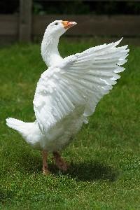 Czytaj o Zachowania ptaków w warunkach hodowlanych i w środowisku naturalnym