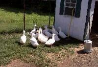 Czytaj o Kacznik - pomieszczenie dla kaczek
