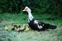 Czytaj o Wychów kaczek