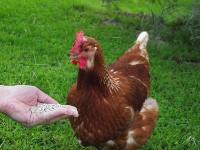 Czytaj o Zioła w hodowli kur