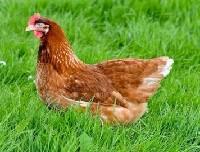 Czytaj o Barwa skoków u kur