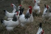 Czytaj o Struktura upierzenia u kur