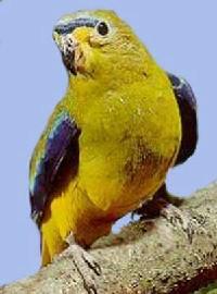 Czytaj o Łąkówka modroskrzydła