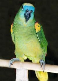 Czytaj o Amazonka niebieskoczelna