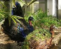 Czytaj o Lęgi pawi naturalne i sztuczne