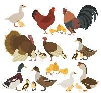 Czytaj o Dziedziczenie cech u ptaków domowych