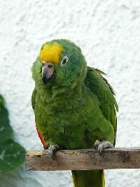 Czytaj o Amazonka żółtoczelna