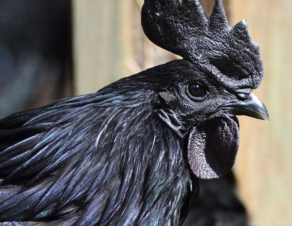 wielki czarny kogut